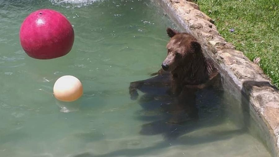 Ursa Mirza, de 200 kg, faz hidroginástica - Divulgação