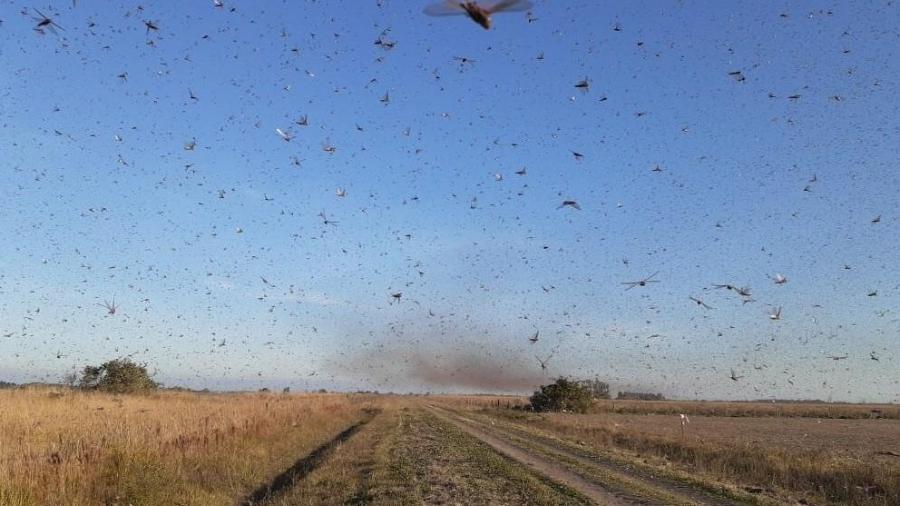 Nuvem de gafanhotos é vista em plantação na cidade de Santa Fé, na Argentina - Senasa (Serviço Nacional de Saúde e Qualidade Agro-Alimentar)