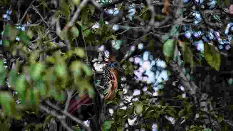 Jacu-cigano também foi impactado, com 1,8%-2,6% de sua área afetada - Getty Images - Getty Images