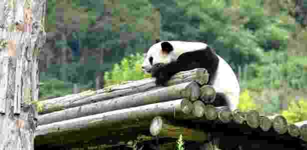 Panda - Luo Xinghan/Xinhua - Luo Xinghan/Xinhua