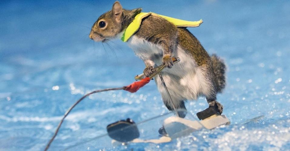 9.jan.2016 - Um esquilo esquiador realiza apresentação na Mostra Internacional de Botes de Toronto 2016, em Toronto, no Canadá. O animal foi colocado em um suporte em miniatura puxado por motor dentro de uma piscina