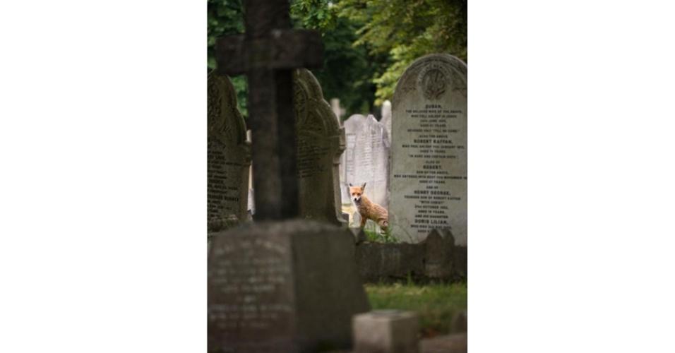 Em segundo lugar nesta categoria, Richard Bowler registrou uma raposa em cemitério no País de Gales.