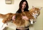 'Maior gato do mundo' viraliza e espera por recorde mundial na Austrália (Foto: Instagram/@omar_mainecoon)