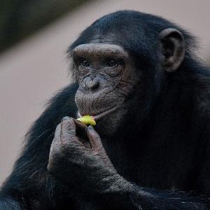 Chimpanze em zoológico