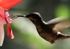 Biólogo cria flor de vidro para desvendar segredo da língua do beija-flor - BBC