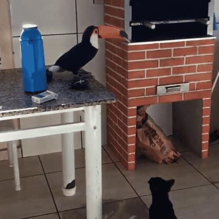 Tucano rouba cigarro observado por um gato - Reprodução