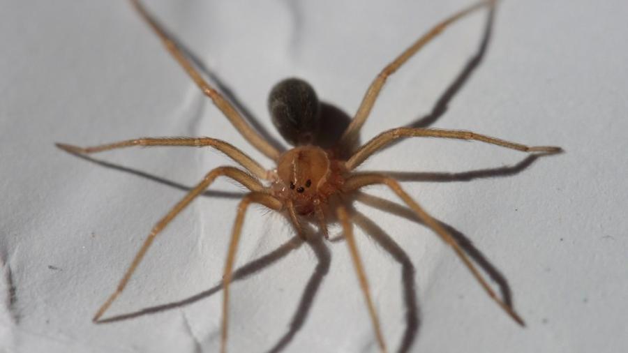 Aranha-marrom tem entre 3 e 4 cm e possui uma picada com capacidade necrosante - Philipe de Liz Pereira/Creative Commons
