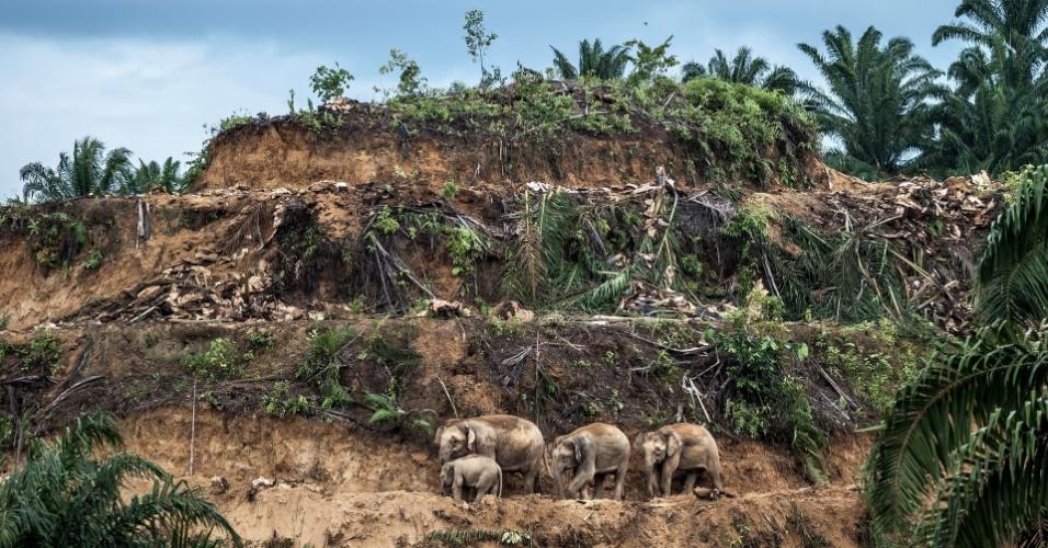 """A imagem """"Sobreviventes das palmeiras"""", do britânico-americano Bertie Gekoski, premiada na categoria Fotojornalista de Vida Animal: Imagem Única, mostra elefantes de três gerações andando em área desmatada para plantação de palmeiras na floresta de Sabah, na ilha de Borneo. A indústria de palmeiras reduziu e fragmentou o habitat desses animais."""