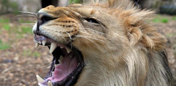 Um dos leões do zoológico localizado na região montanhosa do Eifel