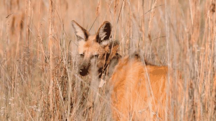 Para biólogos, a nova nota de R$ 200 será importante para conscientização sobre os lobos-guarás - Adriano Gambarini/BBC - Adriano Gambarini/BBC
