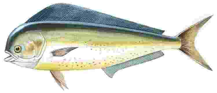 Os dourados-do-mar também são conhecidos como mahi-mahi: 'além de prover minha alimentação, me faziam companhia' - DE AGOSTINI PICTURE LIBRARY - DE AGOSTINI PICTURE LIBRARY
