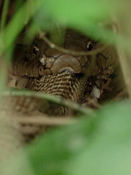 Cobra-rei engolindo a naja em foto que chocou o Twitter - Reprodução/Twitter