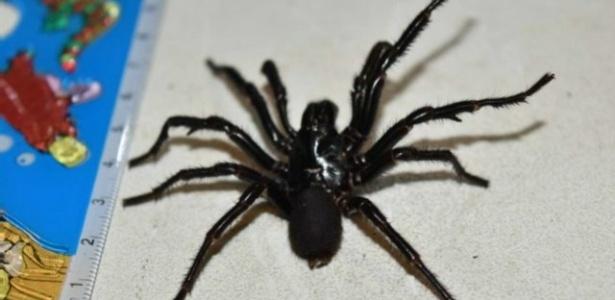 Acha essa imagem amedrontadora? A aranha pode parecer ainda maior pra você
