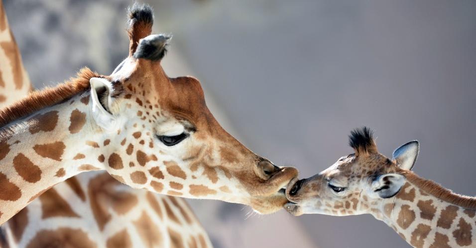 1.set.2016 - Filhote de girafa do Níger (Giraffa camelopardalis), com menos de 1 mês de vida, beija sua mãe no zoo de La Fleche, na França