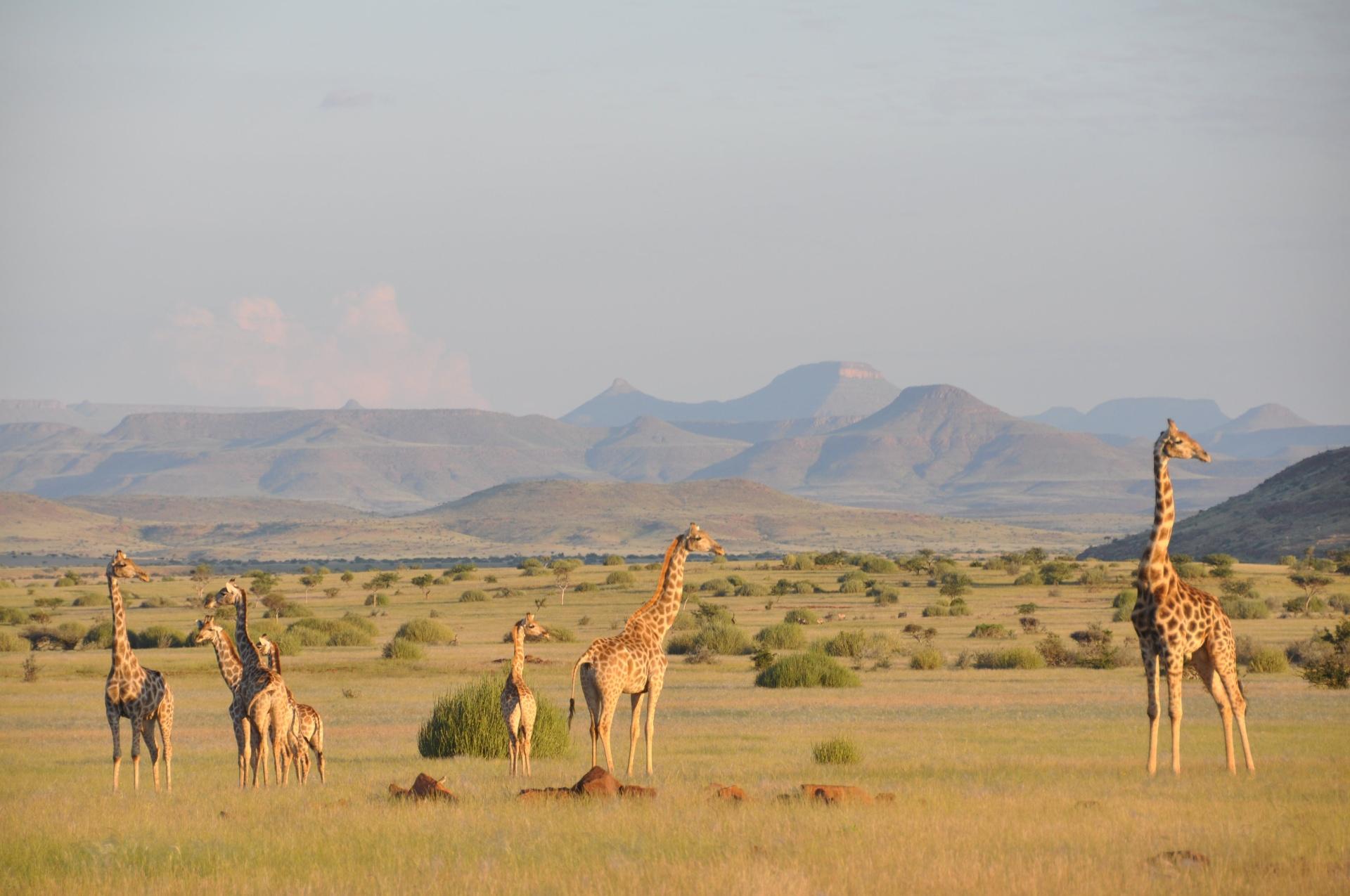 8.set.2016 - A ciência reconhecia até hoje a existência de uma única espécie de girafas, que se subdividiam em diversas subespécies. Mas um grupo de cientistas da Alemanha realizou a maior análise genética feita até hoje sobre o animal e concluiu que existem quatro espécies diferentes de girafas no mundo