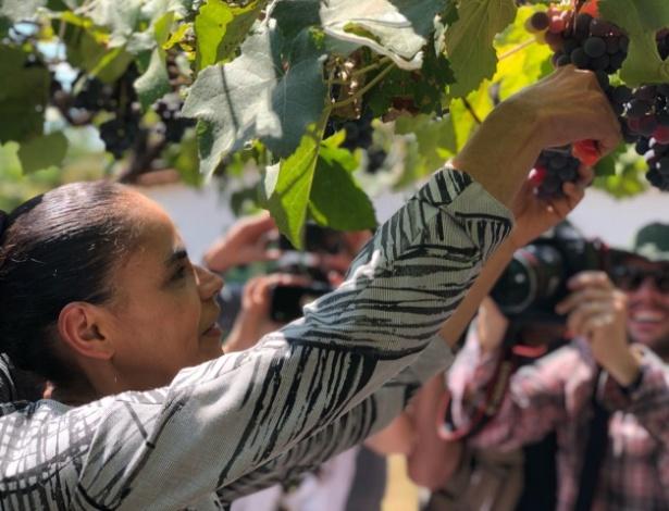 Marina Silva (Rede) colhe uvas na fazenda Santa Brígida, em Ipameri (GO)