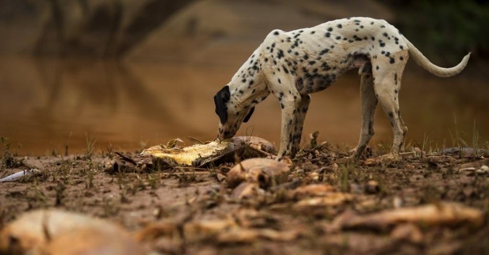 15.nov.2015 - Cachorro fareja peixe morto da margem do Rio Doce no município de Resplendor (MG), impactado pelo rompimento da barragem em Mariana (MG), que matou peixes e animais do rio