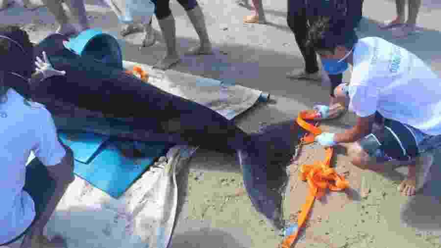 Animal foi resgatado na manhã de hoje em praia de Imbituba (SC) - Santiago Anguita/PMP-BS Udesc