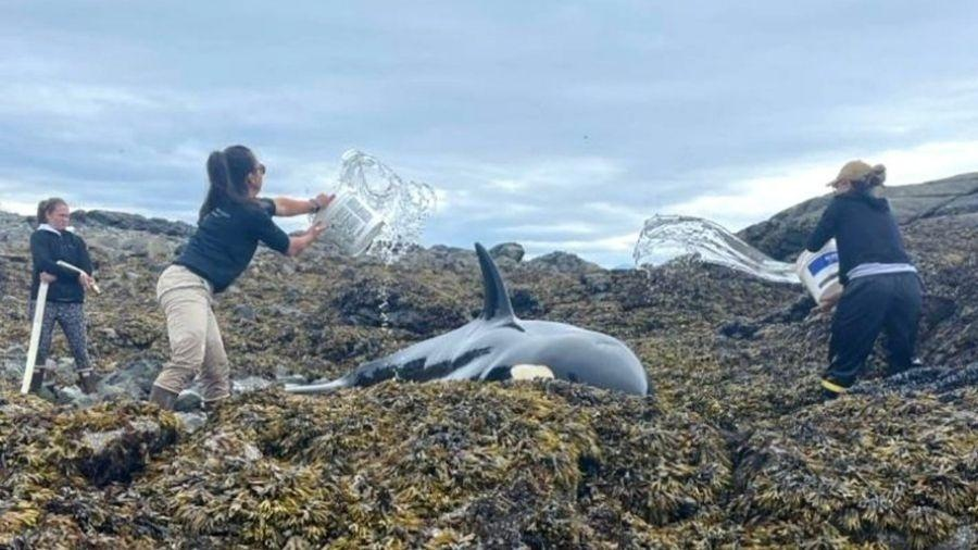 Orca encalhada é salva por socorristas que jogaram água nela por seis horas - Reprodução/Twitter