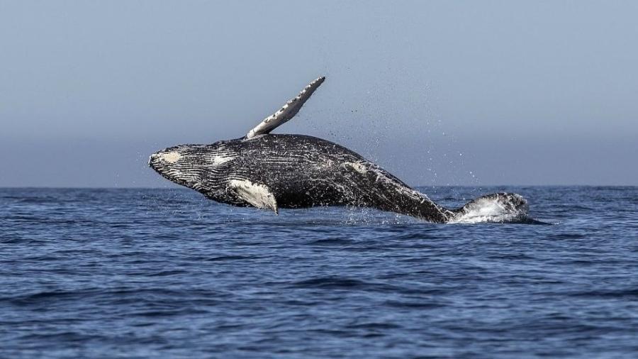 Baleia Jubarte salta no Oceano Pacífico próximo a Los Cabos, no México - Getty Images