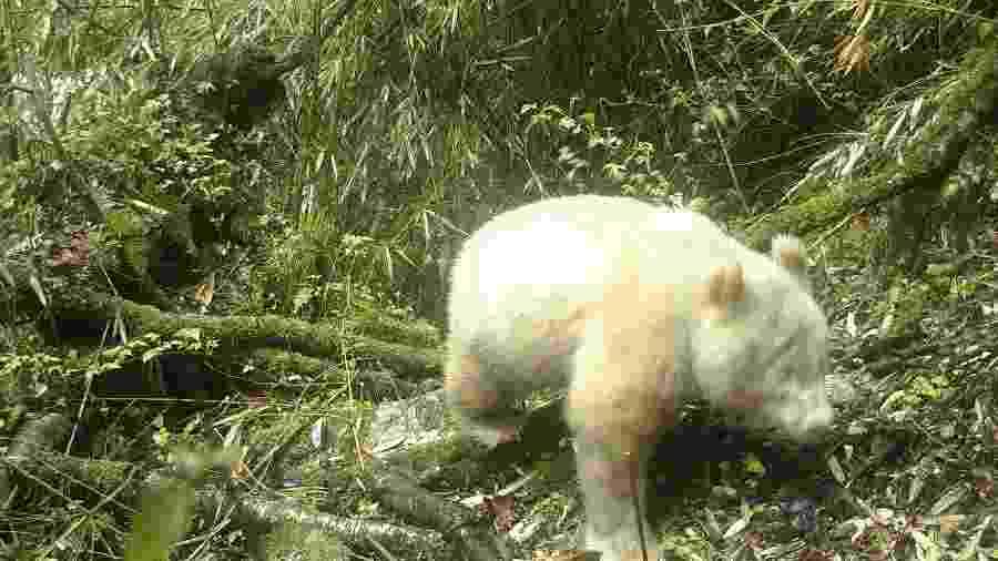 26.maio.2019 - Panda albino é avistado pela 1ª vez na história em reserva da China - Xinhua