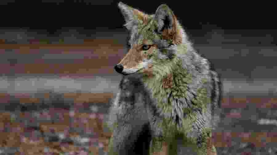 Defensores da vida dos animais condenam uso de dispositivos contra animais selvagens - Getty Images