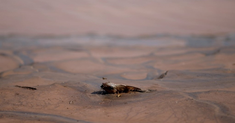 12.nov.2015 - Peixe não resiste a dejetos trazidos pela lama tóxica em Minas Gerais e aparece morto no Rio Doce, em 12 de novembro.