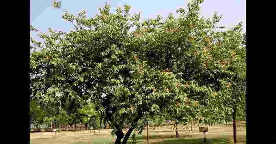 Mutambo - De madeira leve e pouco compacta. Sua altura varia entre 8 e 16 metros. Seu tronco possui entre 30 e 50 cm de diâmetro. Ocorre em florestas em praticamente todo o país.  ÁRVORE PIONEIRA: de crescimento rápido. Possui boa capacidade de absorção de CO2 nos primeiros anos de vida. Contudo, por ser pioneira, não cresce muito e morre cedo, fazendo com que seu potencial para estocar carbono seja limitado no tempo - Reprodução/WikimediaCommons