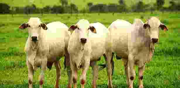 Vírus encontrado em gado entra em contato com humanos por meio da água contaminada pelas fezes do animal - Pierre Duarte/Folhapress