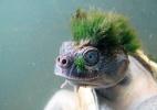 "Pesquisadores vendem chocolates para salvar ""tartaruga punk"" de extinção - Chris Van Wyk/ZSL/AFP"
