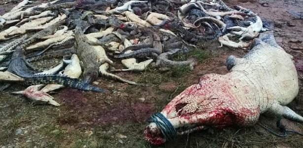 Crocodilos abatidos por uma multidão em Sorong na província de Papua, na Indonésia