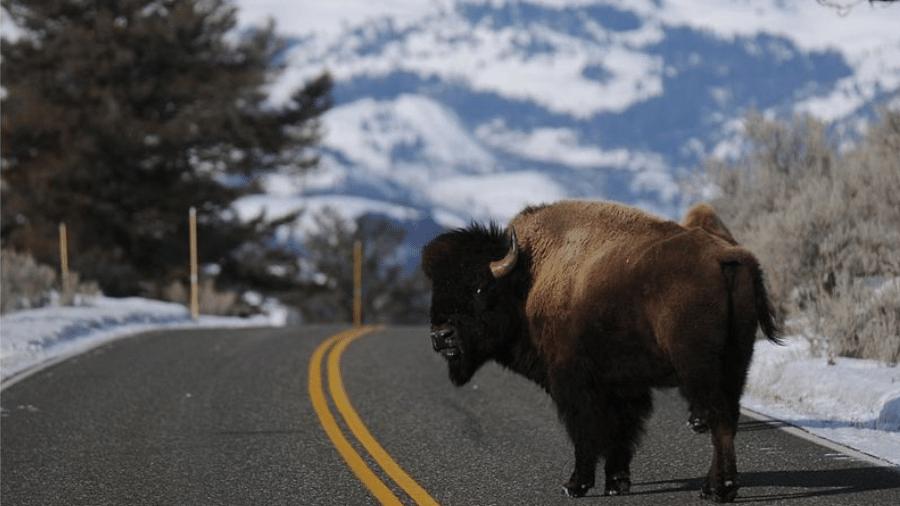 Superpopulação de bisões vem causando danos - Getty Images