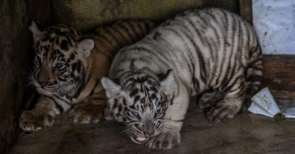 2.ago.2016 - Dois filhotes de tigre-de-bengala, nascidos em 22 de junho, são apresentados ao público no zoológico de Medan, em Sumatra, na Indonésia