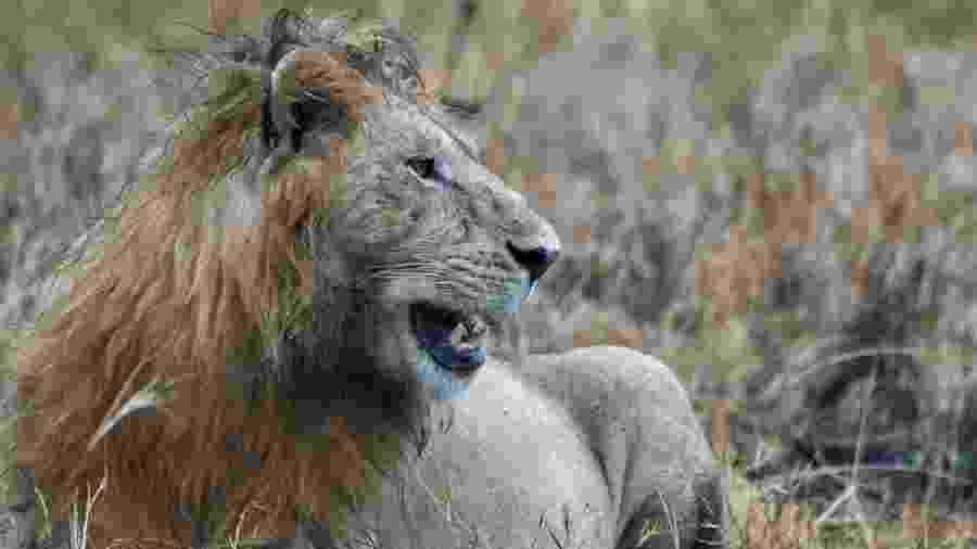 Há cerca de 2 mil leões no Parque Nacional Kruger - BBC
