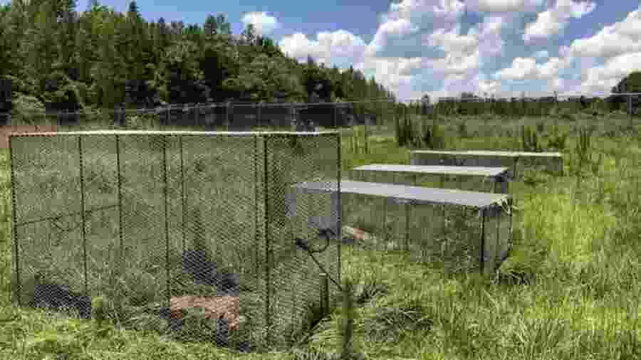 Alguns dos corpos são protegidos por gaiolas para evitar que sejam alvos de aves de rapina - BBC