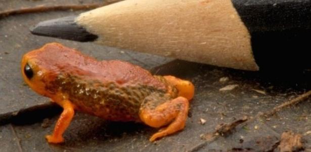 'Brachycephalus coloratus', um dos menores sapos do mundo, mede de 10 a 12 mm e tem coloração laranja