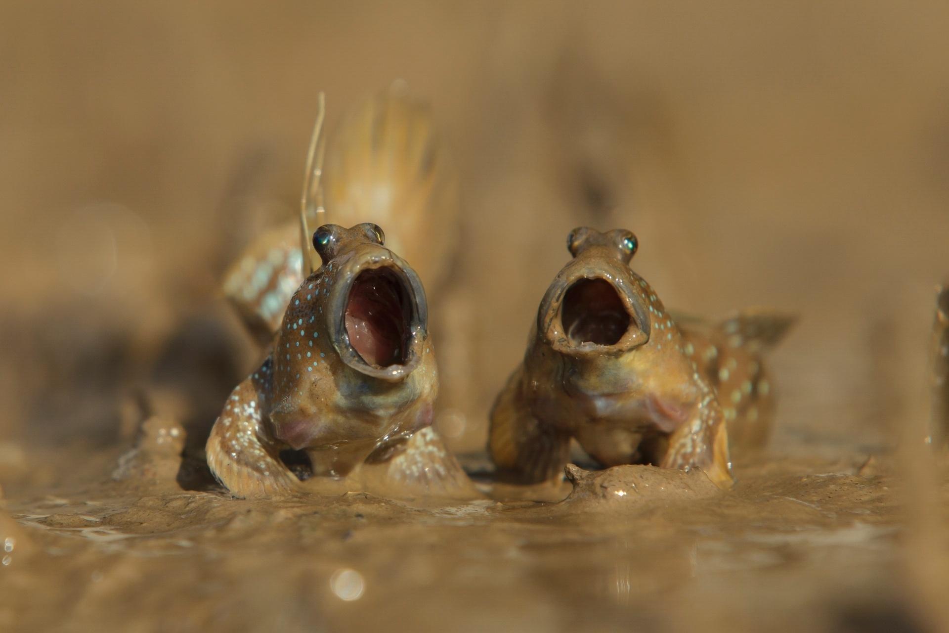 Cantoria - Esses dois Saltadores do Lodo, gênero de peixes, parecem soltar o gogó em Krabi, na Tailândia
