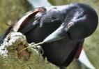 Cientistas descobrem ave que inventou ferramenta para alcançar presas - BBC