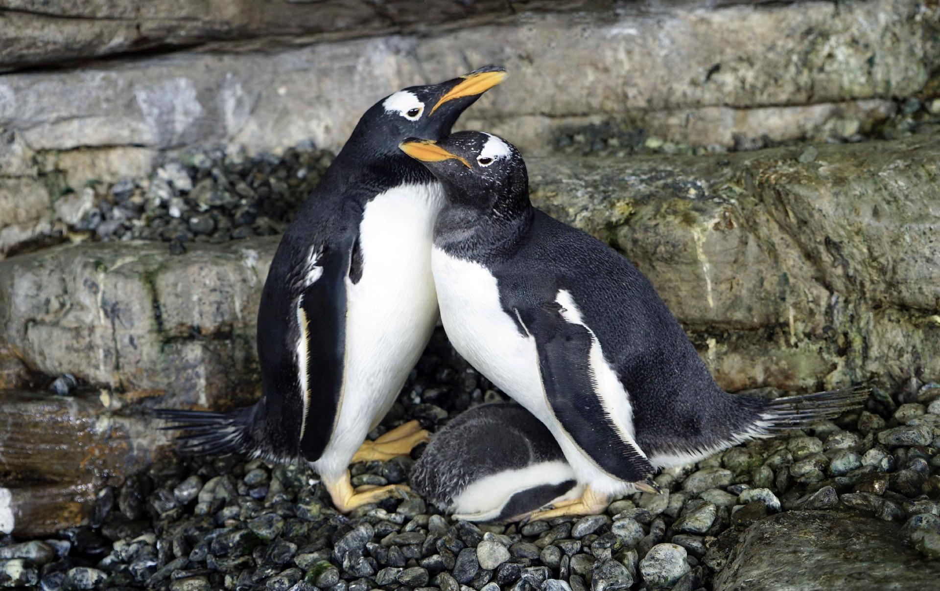 Pinguins do mesmo sexo chocam ovo adotado e conseguem filhote, na ...