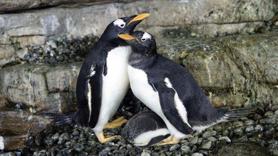 O casal de pinguins Electra e Viola, do mesmo sexo, chocaram ovo juntas no aquário Oceanogràfic Valencia, na Espanha - Divulgação