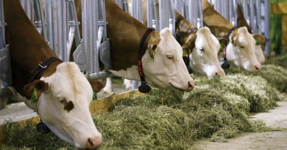 15.jan.2016 - Vacas comem pasto durante a abertura da Green Week International Food, feira de agricultura e horticultura em Berlim, Alemanha
