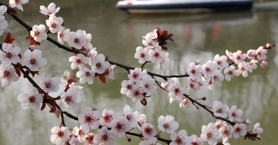 16.mar.2016 - Flores de cerejeira crescem em Gucun Park, em Xangai, na China. O festival das cerejeiras deve começar no dia 18 de março