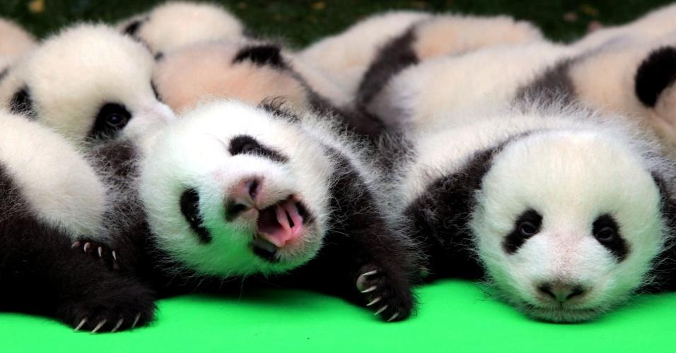 29.set.2016 - Cerca de 23 pandas gigantes nascidos em 2016 são apresentados no Chengdu Base de Pesquisa de Reprodução do Panda Gigante, na província de Sichuan (China)