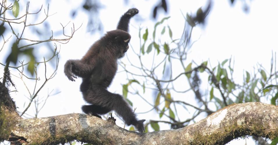 16.jan.2017 - Cientistas encontraram uma nova espécie de gibão, pequenos primatas que habitam o sul, leste e sudeste da Ásia. A nova espécie é a Gaolingong Montain White-browed, descoberta em Yunnan, na China. Com sobrancelhas brancas, a espécie é morfológica e geneticamente diferente das outras, segundo um estudo publicado no American Journal of Primatology. Com a descoberta, sobem para 20 o número de espécies vivas e reconhecidas do animal