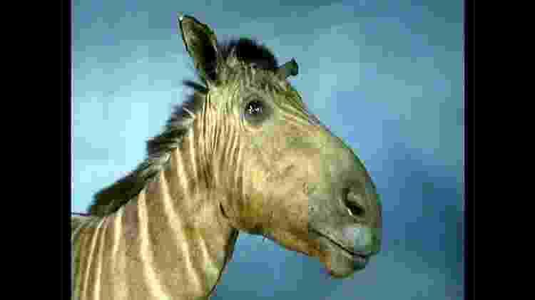 Quaga fêmea que vivia em zoológico de Amsterdã morreu em 1883 - BBC