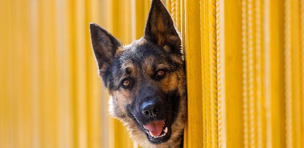 Nos EUA | Pastor alemão é o 1º cão com diagnóstico oficial de covid-19