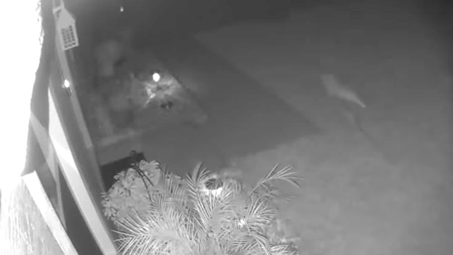 Animal com cauda grossa e patas dianteiras foi flagrado correndo no quintal - Reprodução/Facebook/FOX 35 Orlando