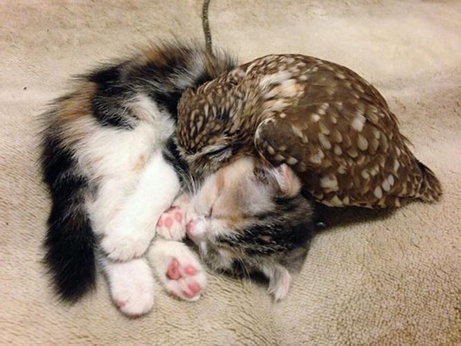 2.jul.2015 - A coruja Fuku e o gatinho Marimo são, sem dúvida alguma, melhores amigos. A dupla se diverte e ama tirar uma soneca em sua casa, o café Hukulou, localizado em Osaka, no Japão