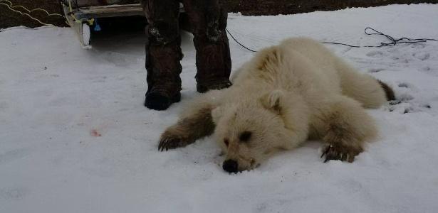 Com pelos brancos, patas escuras e grandes garras, o urso híbrido é considerado raro