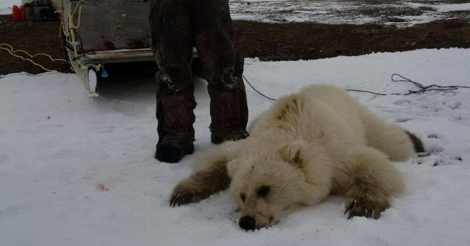 28.mai.2016 - Um urso híbrido nascido do cruzamento de um urso pardo com um polar foi morto por um caçador no norte do Canadá. Com pelos brancos, patas escuras e grandes garras, a espécie mestiça é considerada rara